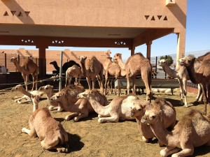 camel market - Al Ain